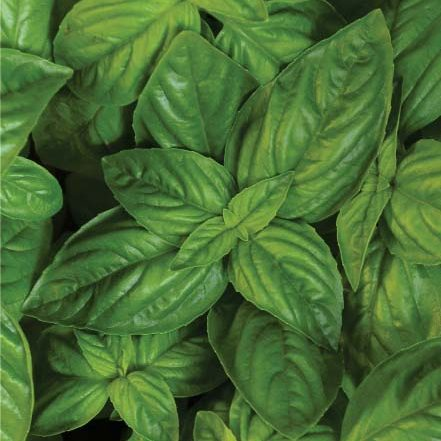 Herb - Sweet Basil (Genovese) - for web